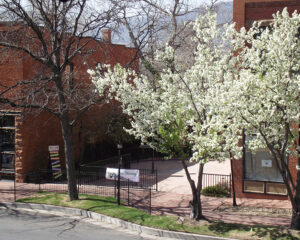 Jake and Telly's Patio Trees in bloom